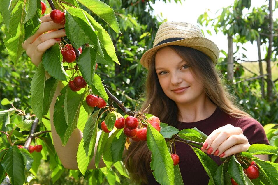 Parallel zur Erdbeerernte werden jetzt die ersten Süßkirschen von den Bäumen der Obstland Dürrweitzschen AG gepflückt.