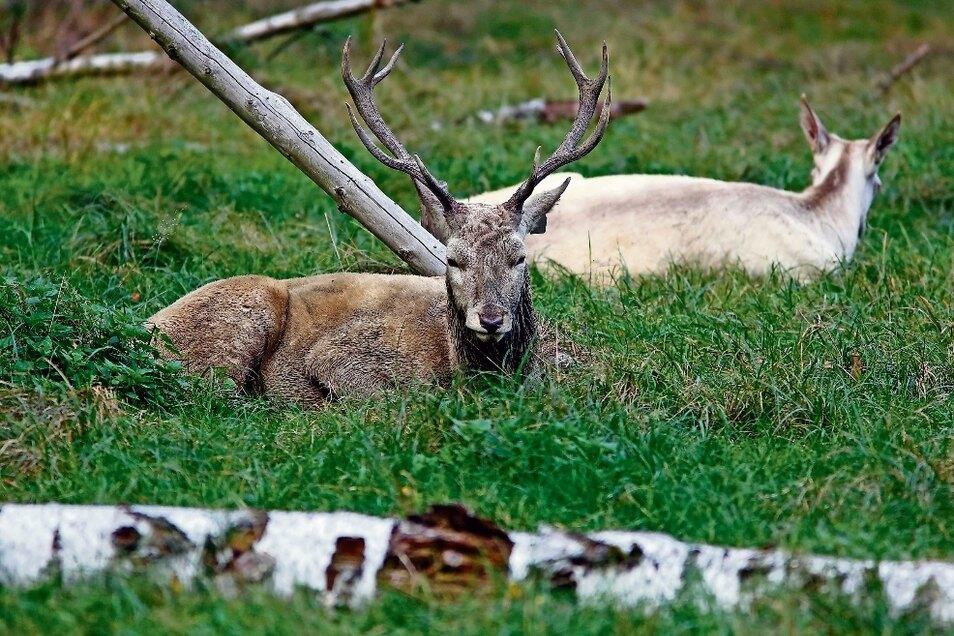 Auch der weiße Hirsch hat schon geröhrt und ist in der Brunftzeit, sagt Wildgehegeleiter Ronald Ennersch.
