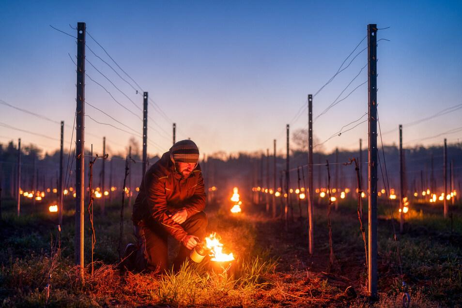 Weinbauleiter Till Neumeister vom Radebeuler Staatsweingut Schloss Wackerbarth entzündet Ende April Frostschutzkerzen im Weinberg in Weinböhla.