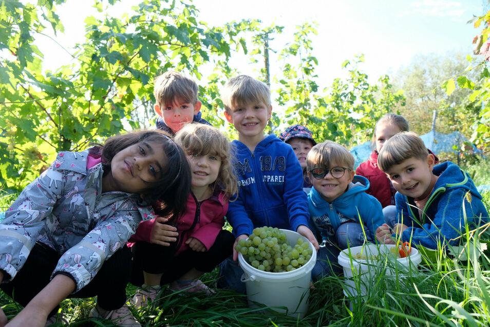 """Vorschüler der Kita Kinderkreis """"Natur, Heimat und Gesundheit"""" haben Trauben im Kinderweinberg der Hoflößnitz gelesen."""