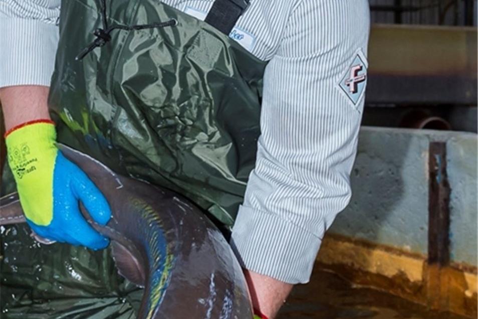 Bevor die Störe von Tobias Güther ausgenommen werden, schwimmen sie in klarem, eiskaltem Wasser.