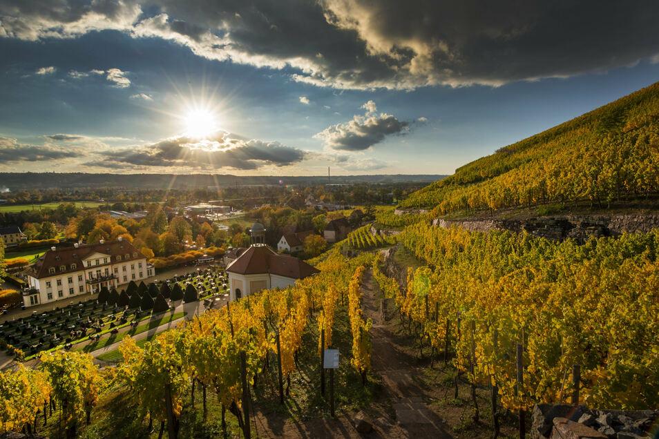Goldener Spätherbst in den Weinbergen von Schloss Wackerbarth. Die Weine des Staatsgutes wurden gerade ausgezeichnet.