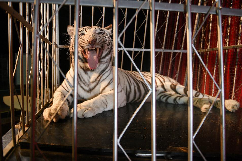 """""""Das sind Raubtiere, da hat niemand etwas zu suchen"""": Sarrasanis Tigerin Kaya hinter Gittern."""