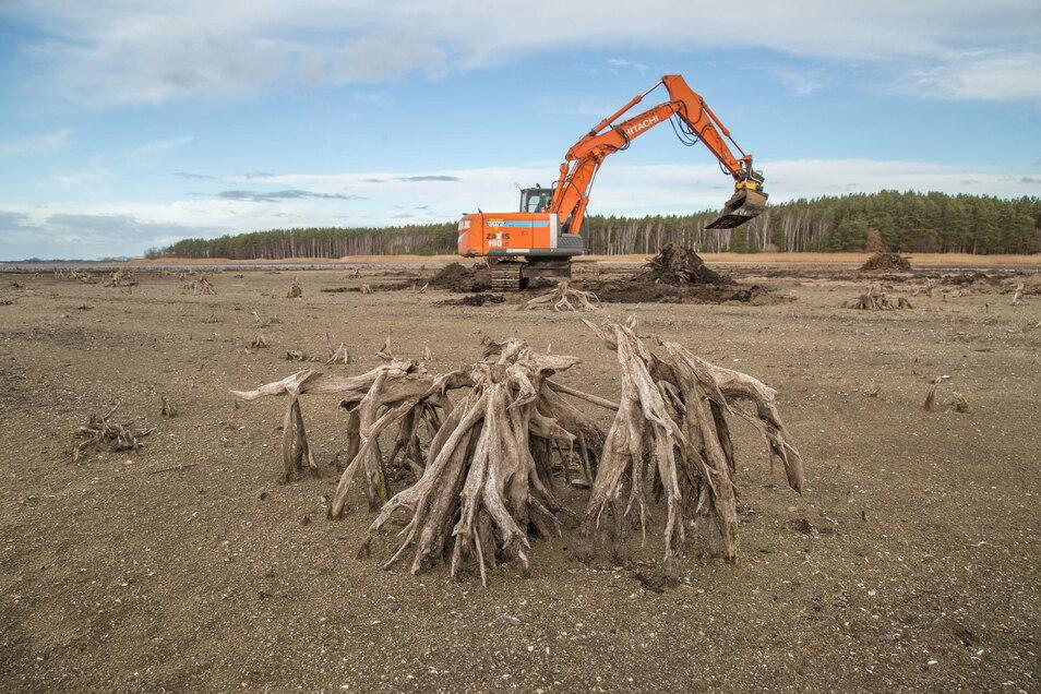 Die Firma Osteg aus Zittau gräbt im Auftrag der Landestalsperrenverwaltung die Wurzeln aus dem Boden des Stausees Quitzdorf.