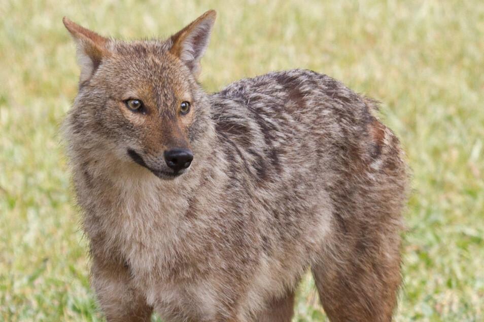 """Der Goldschakal (laufgenommen im Yarkon-Park in Tel Aviv) ist nur wenig größer als ein Rotfuchs, aber deutlich kleiner als ein Wolf. Im Geomagazin wird sein Aussehen als """"eine (biologisch unmögliche) Kreuzung aus den beiden"""" beschrieben."""