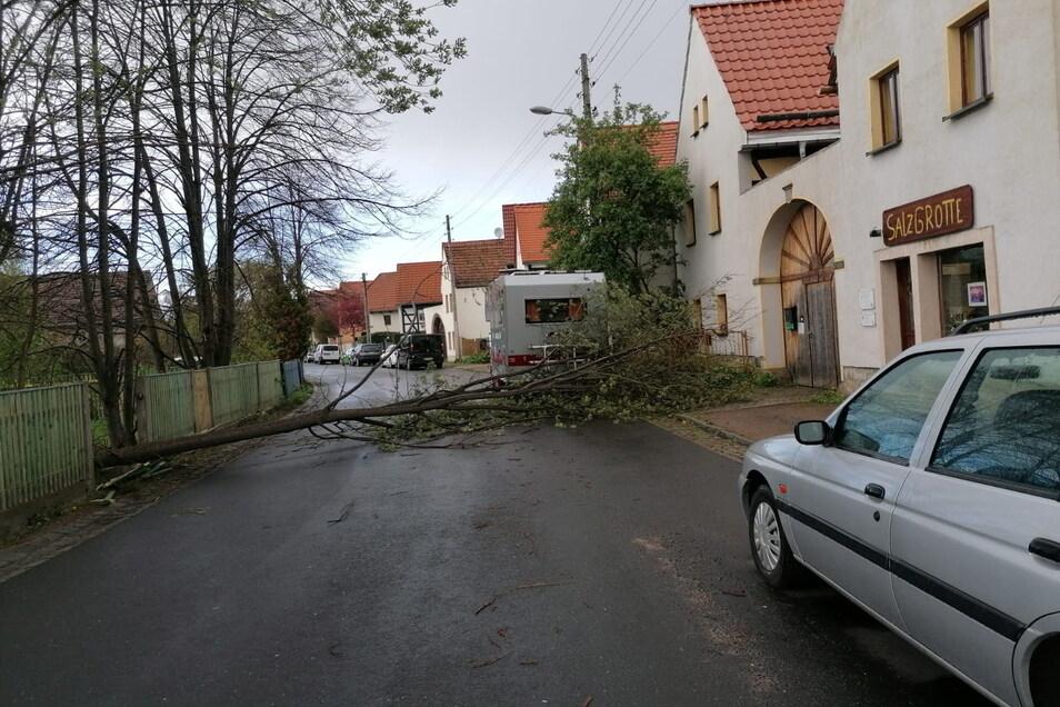 Mitten auf dem Dorfanger von Altnaundorf ist dieser Baum umgestürzt.