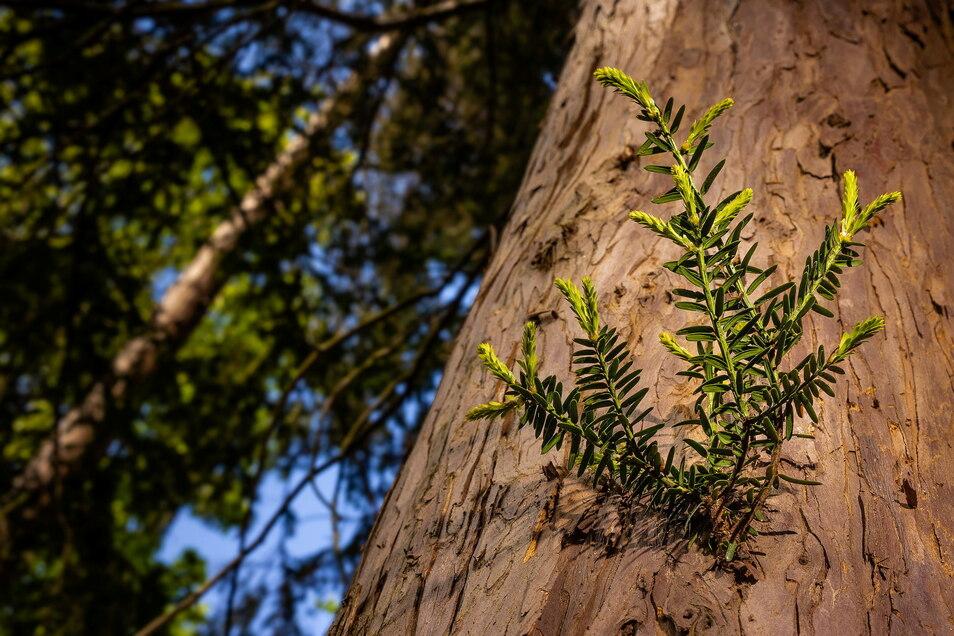 Abgestorbene Bäume haben eine Kahlfläche im Park hinterlassen. Die alte Eibe nutzt dies und lässt waagerecht aus ihrem Stamm zusätzliche Zweige in die Sonne wachsen.