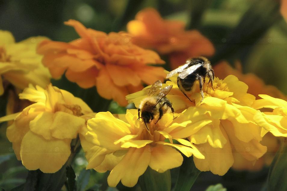 Bienen tummeln sich auf Nahrungssuche in bunten Studentenblumen. Jedes dieser fleißigen Insekten lebt etwa drei Monate, fliegt in dieser Zeit täglich bis zu drei Kilometer und steuert dabei bis zu 4.000 Blüten an. Auch in Weißwasser und Umgebung.