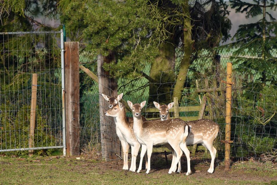 Verängstigt stehen sie in der Ecke: Die Hirsche im Wildgehege von Gerald Rönsch.