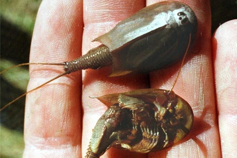 Der Triops cancriformis oder Urzeitkrebs. In der Gohrischheide wird er nur gut zwei Zentimeter groß.