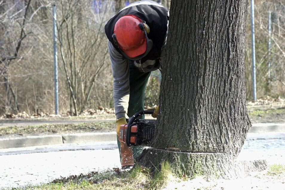Die Bündnisgrünen im Kreis rufen dazu auf, um jeden Straßenbaum zu kämpfen. Nicht nur aus ökologischer Sicht, sondern auch, weil Neupflanzungen sehr teuer werden können.