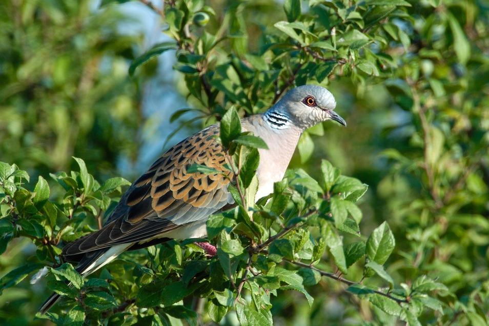 """Die Turteltaube wurde im vergangenen Jahren zum """"Vogel des Jahres"""" gekürt."""