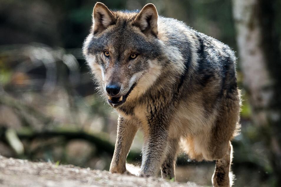 So nah wie dieser Wolf aus dem Wildpark Schorfheide in Brandenburg kommen die Raubtiere aus dem Dresdner Norden den Menschen nicht. Allerdings sind ihnen nun erneut Schafe zum Opfer gefallen.