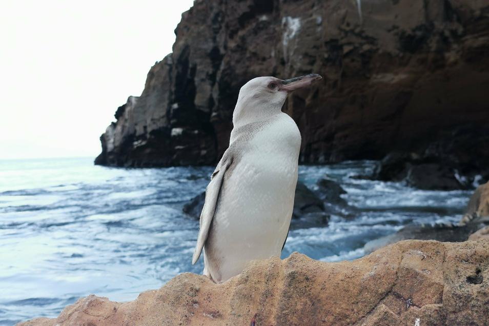 Ein weißer Pinguin steht in Punta Vicente Roca, nördlich der Insel Isabela. Ein Touristenführer erspähte das seltene Tier auf Isabela, der größten Insel des Archipels.