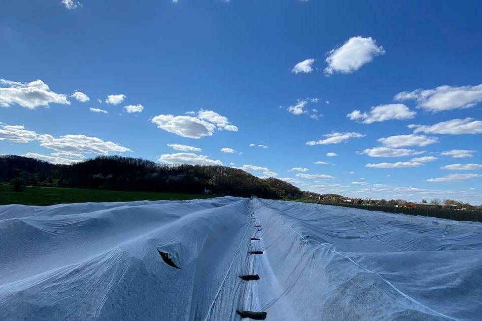 Seltsamer Anblick - mit Hunderte Meter langen Vliesbahnen sind Stachelbeersträucher bei Bioobst Görnitz in Sörnewitz abgedeckt.