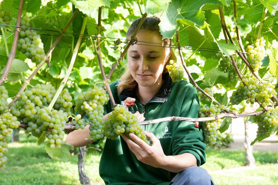 Winzerin-Azubi Stefanie Weichelt erntet auf Schloss Wackerbarth bereits die ersten frühreifen Trauben der Rebsorte Solaris.