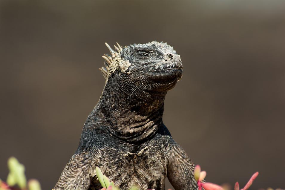 Die nächsten Verwandten der Galapagos-Meerechsen leben auf der Yucatán-Halbinsel, von der über die Strände der Karibik nur ein sehr weiter Weg zu den Galapagos-Inseln führt.