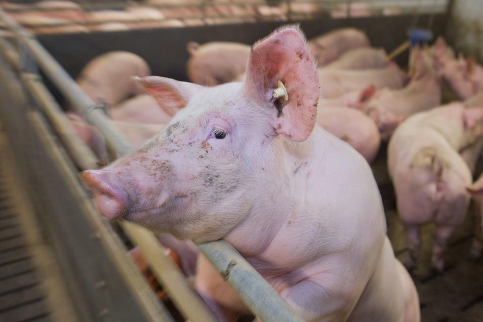 Die Blums betreiben in Lauterbach Schweinezucht.
