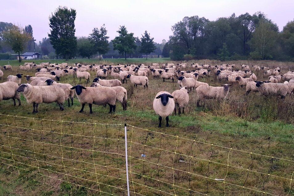 Am Tag nach der dramatischen Rettung hat der Schäfer seine Tiere auf eine höher gelegene Wiese in Ostritz gebracht.