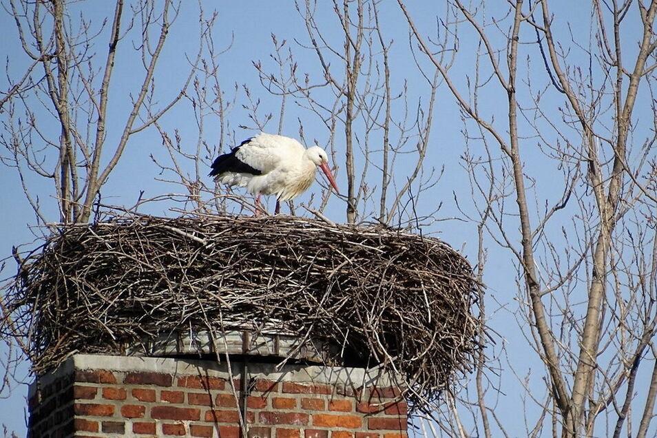 Der erste Storch ist in Nostitz bei Bautzen gelandet. Foto: Andreas Baumgärtel