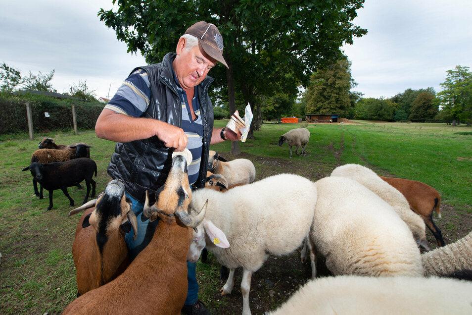 Lutz Hübler kümmert sich um die gut 25 Schafe, die auf dem Strehlener Grundstück einen Gnadenhof gefunden haben. Wann sie von dort wegziehen müssen, ist derzeit noch unklar.