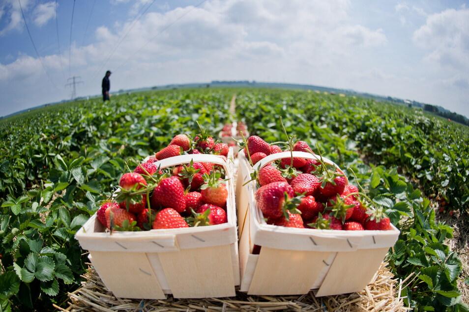 Bis die Erdbeeren auf den Feldern um Riesa so lecker aussehen, dauert es noch ein paar Tage.