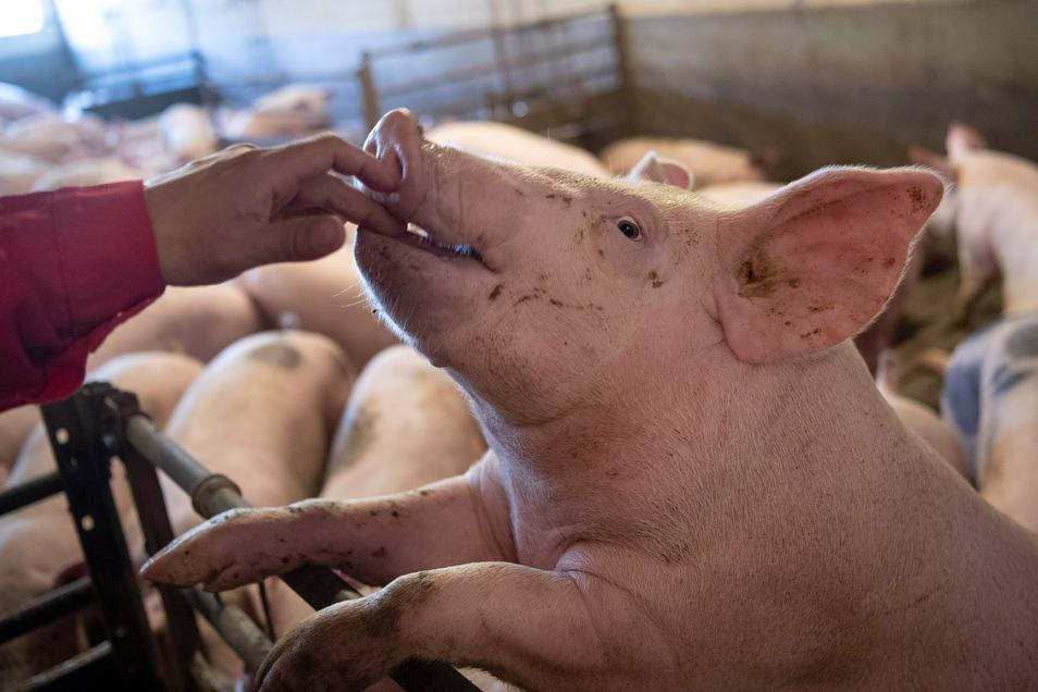 Sächsische Schweine allein reichen nicht aus, um die Nachfrage nach Fleisch und Wurst zu erfüllen. Aber es gibt keinen großen Schlachthof mehr im Freistaat.