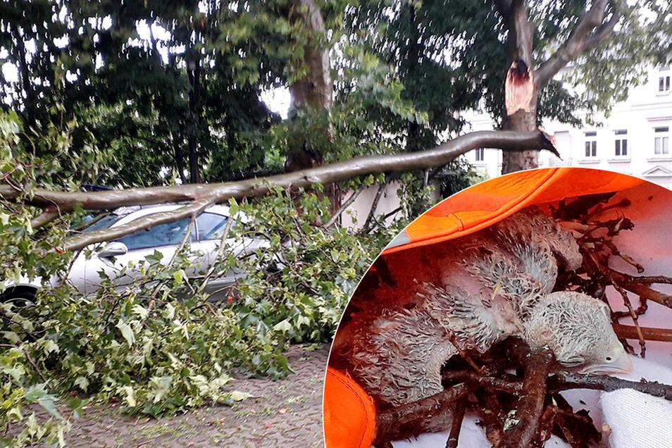 Ein großer Ast war bei einem Wolkenbruch am Riesaer Puschkinplatz abgebrochen. Auch ein Vogelnest samt jungem Falken stürzte dabei ab. Nun ist das Tier gestorben.