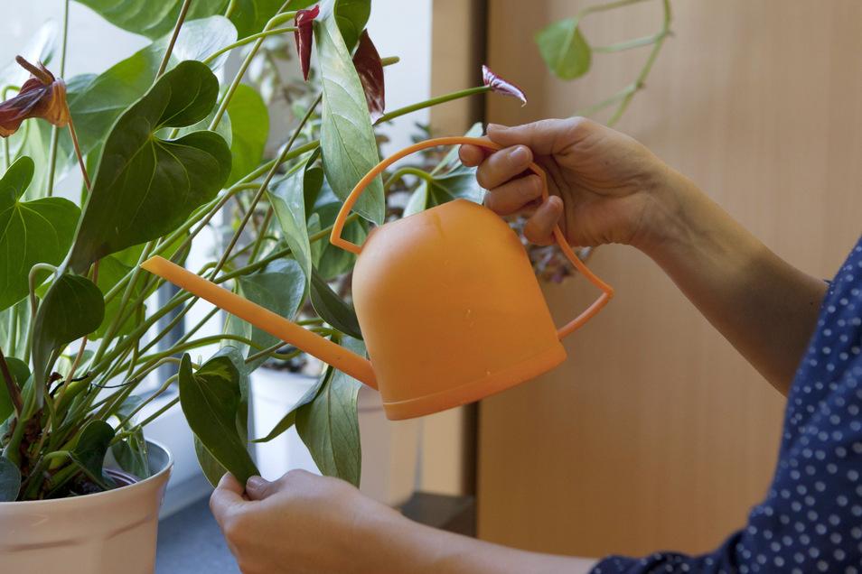 Im Winter legen viele Zimmerpflanzen eine Ruhepause ein - sie benötigen dann nur wenig Wasser.