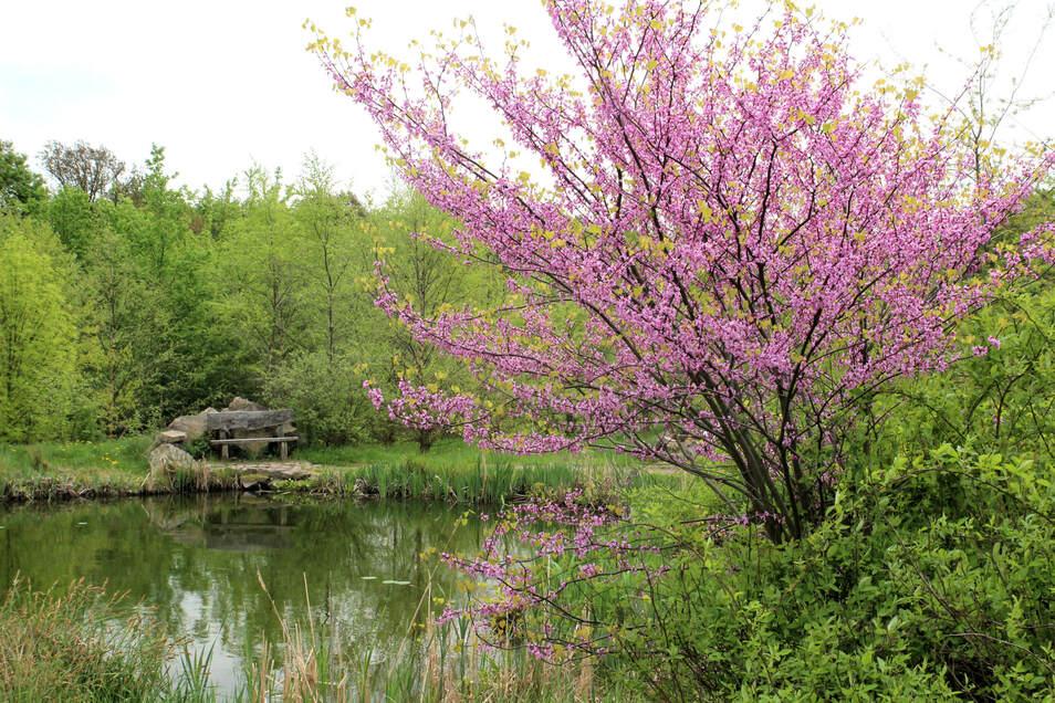 Im Forstpark blühen die Judas-Bäume.