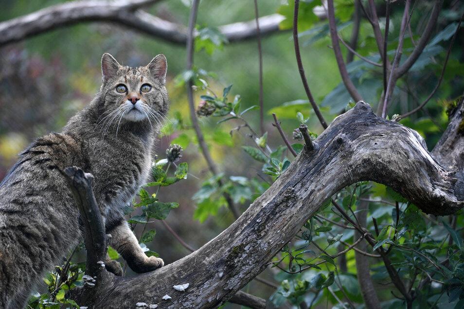 Kein Luchs, sondern eine Wildkatze. Auch sie sind streng geschützt und extrem selten in freier Wildbahn zu sehen.