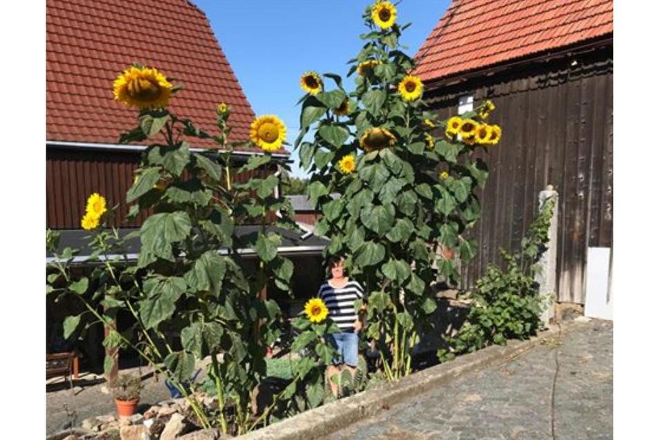 Wie hoch diese Sonnenblumen sind, weiß Fotograf Ingo Freudenberg nicht. Allerdings ist anhand seiner Frau zu sehen, dass  es einige Meter sein müssen. Gewachsen sind sie in ihrem Hof in Friedersdorf.