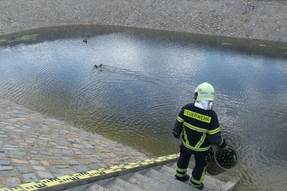 Ein Feuerwehrmann setzt die fünf Küken in der neuen Heimat, dem Regenwasserauffangbecken, aus.
