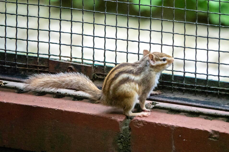 Die Streifenhörnchen gehören zu den Besuchermagneten im Riesaer Tierpark. Bald gibt es dort Nachwuchs zu sehen.