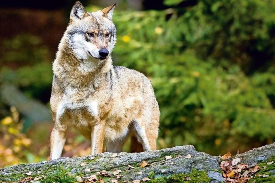 Hat der Wolf das Reh getötet?