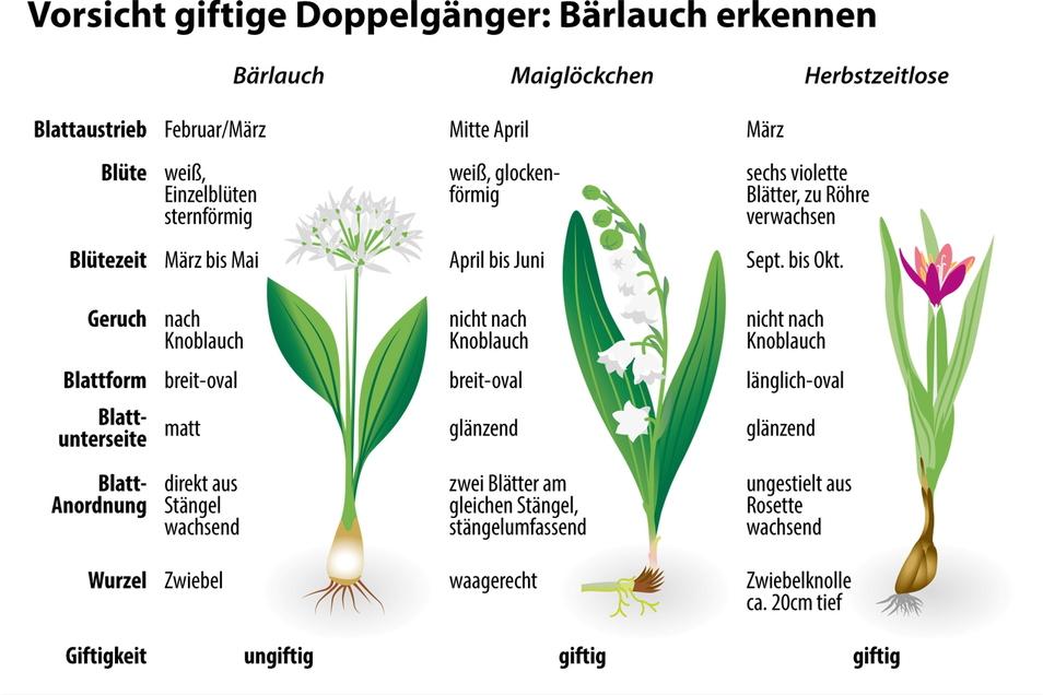 Die Unterscheidungsmerkmale von Bärlauch, Maiglöckchen und Herbstzeitlosen auf einen Blick.