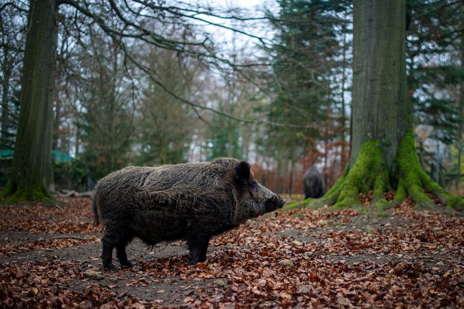In Mittelsachsen haben die Jäger in der zurückliegenden Jagdsaison weniger Schwarzwild erlegt.