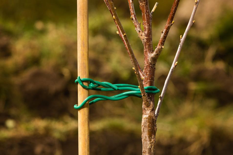 Tipp 3: Anbinden und Mulchen Gleichzeitig mit dem Baum einen Stock einpflanzen. Gut festtreten, dabei einen Gießrand eintreten. Den Baum mit Bast oder gummibezogenen Draht anbinden. Mulch verhindert das Austrocknen.