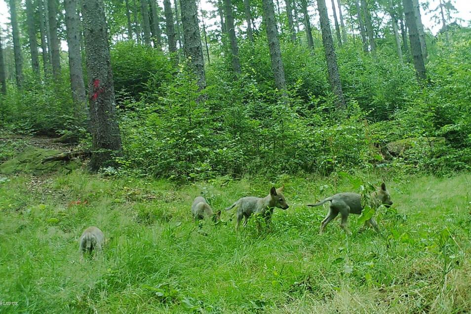 In Elstra gibt es ein Wolfsrudel. Dort wurden fünf Welpen geboren, vier zeigt das Fotofallenbild.