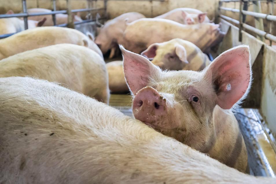 Seitdem die Afrikanische Schweinepest in Brandenburg aufgetaucht ist, bangen sächsische Schweinehalter um ihre Tierbestände.