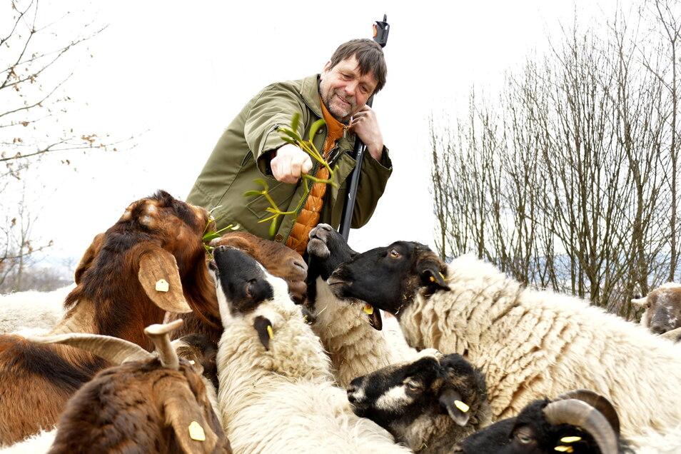 Andreas Wegener von der Grünen Liga mit seinen Heidschnucken, aus deren Wolle Pellets zum Düngen gewonnen werden.