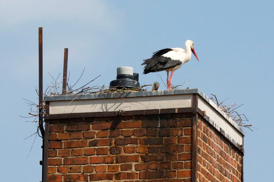 Das der Schornstein der Grundschule in Mittelherwigsdorf noch betrieben wird, stört das Storchenpaar beim Bau ihres Horstes nicht.