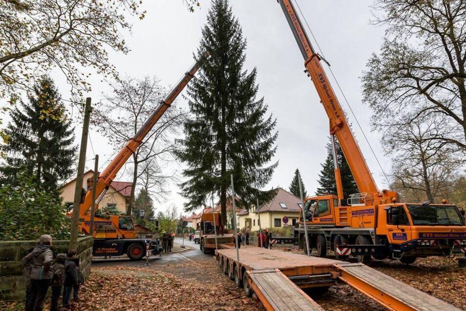 Die Verladung: Auf einem Auflieger wurde der große Baum transportiert.