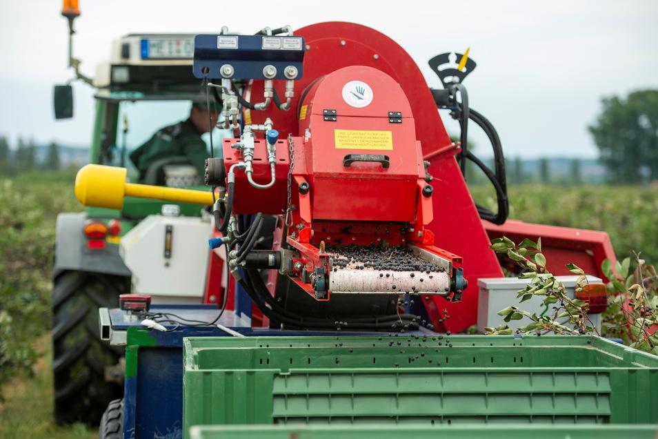 Im großen Stil sollen in einer Woche mit einer Erntemaschine die Früchte von den Sträuchern gerüttelt werden. Zweimal fährt der Traktor mit Maschine durch die Sträucherreihen, dann ist alles runter.