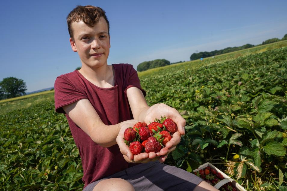 Ganzfrisch selbst gepflückt: Jerome Hennersdorf aus Crostau zeigt auf dem Erdbeerfeld in Bautzen-Stiebitz seine soeben geernteten Früchte.