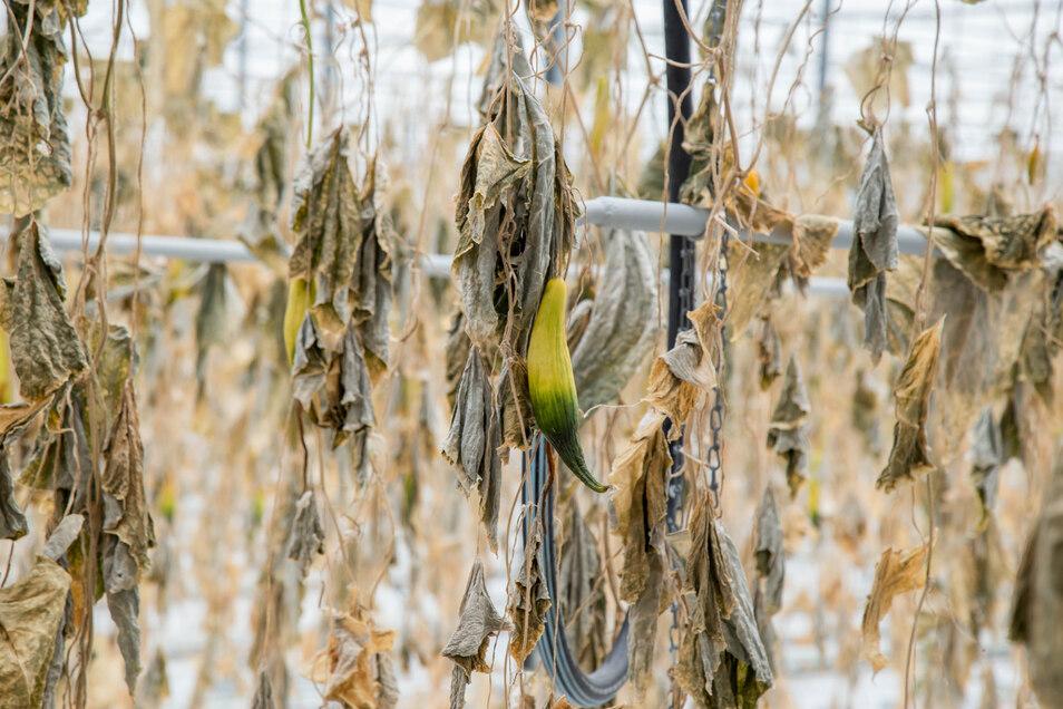 Trauriger Anblick: Die vertrockneten Gurkenpflanzen im Gartenbaubetrieb Ahr in Tauchritz.