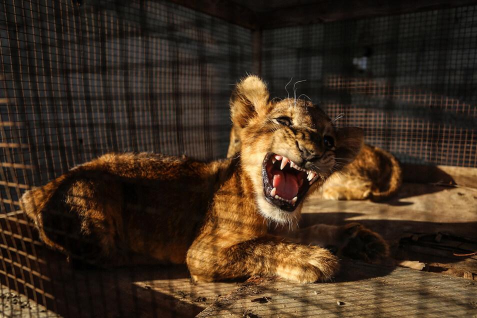 Zoos bekommen wegen der andauernden Schließungen zunehmend Probleme, die Tiere versorgen zu können.