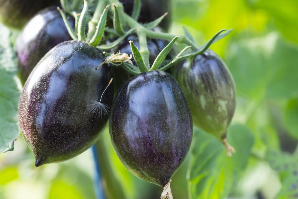 Seit Jahren beschäftigt sich Birgit Kempe mit alten und wilden Tomatensorten wie der Purple Dragon. Seit die Tomaten im 16. Jahrhundert von Mittel- und Südamerika nach Europa gelangten, entstanden Tausende Sorten in vielen Farben, Formen und Größen. Nur e