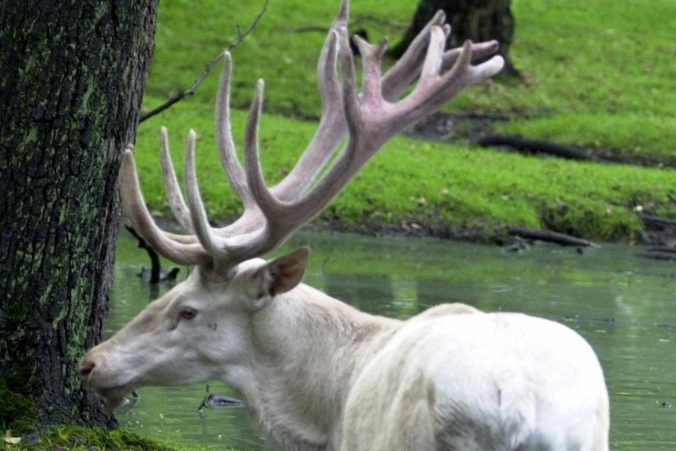 Mit dem prächtigen Hirsch wurde die Haltung des Weißen Rotwilds in Moritzburg vor fast 20 Jahren wiederbelebt. In der Silvesternacht 2013 wurde er getötet und enthauptet.