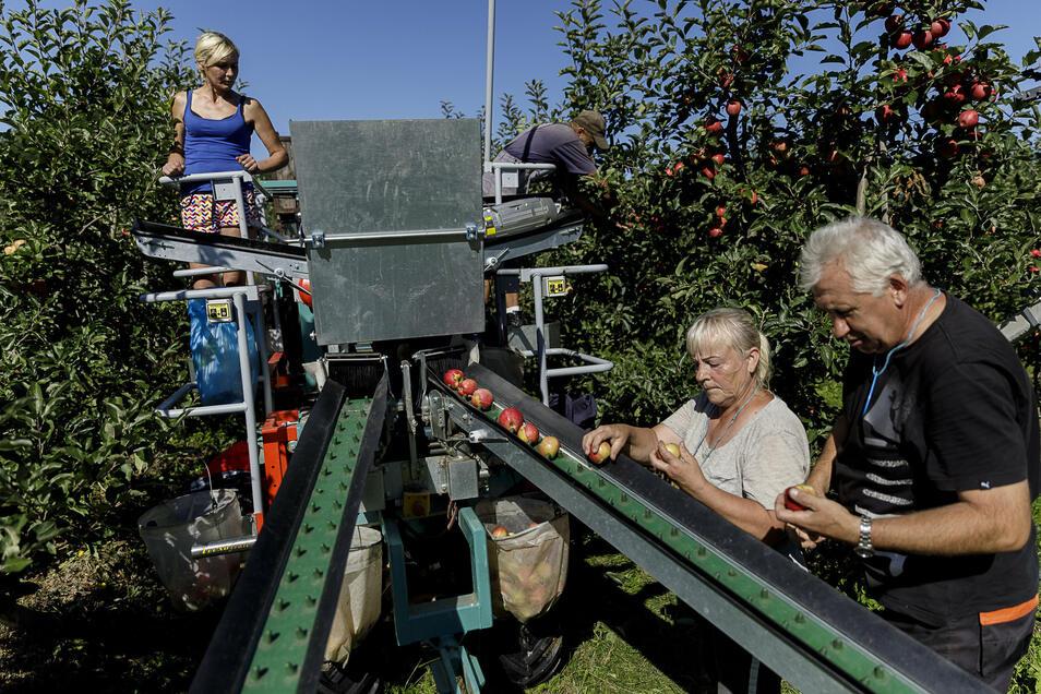 Vier polnische Erntehelfer arbeiten an einer Maschine des italienischen Herstellers Frumaco. Geerntet wird nach wie vor per Hand, aber die Helfer müssen keine Körbe mehr schleppen.
